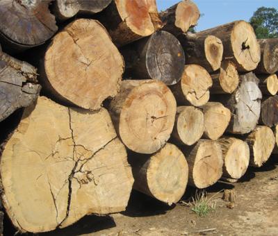 עצטרובל - עץ ברזיל
