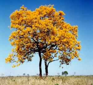 עץ איפאה מלא
