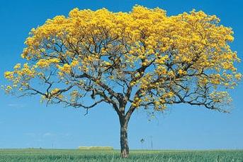 עץ איפאה