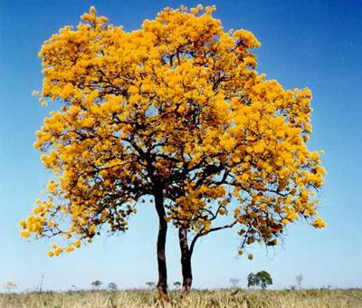 עצטרבול - עץ איפאה